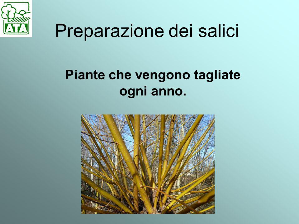 Preparazione dei salici taglio nel periodo di luna calante di fine di marzo-inizio di aprile.