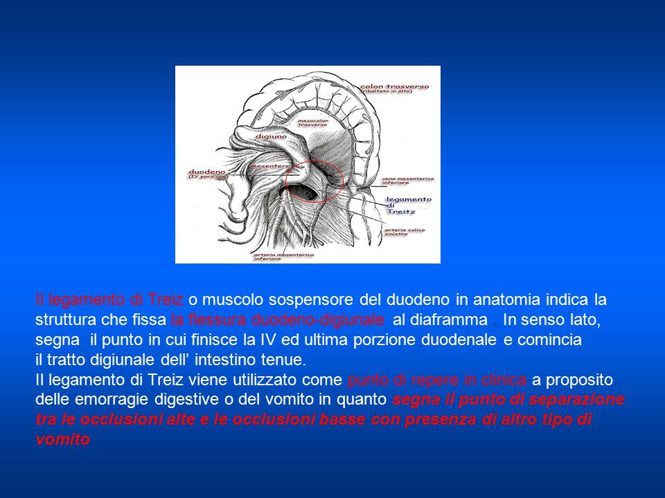 Il legamento di Treiz o muscolo sospensore del duodeno in anatomia indica la struttura che fissa la flessura duodeno-digiunale al diaframma. In senso