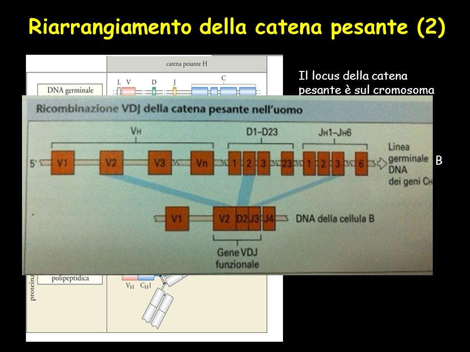 Riarrangiamento della catena pesante (2) Il locus della catena pesante è sul cromosoma 14. Il riarrangiamento produttivo del locus genico Vh è un even