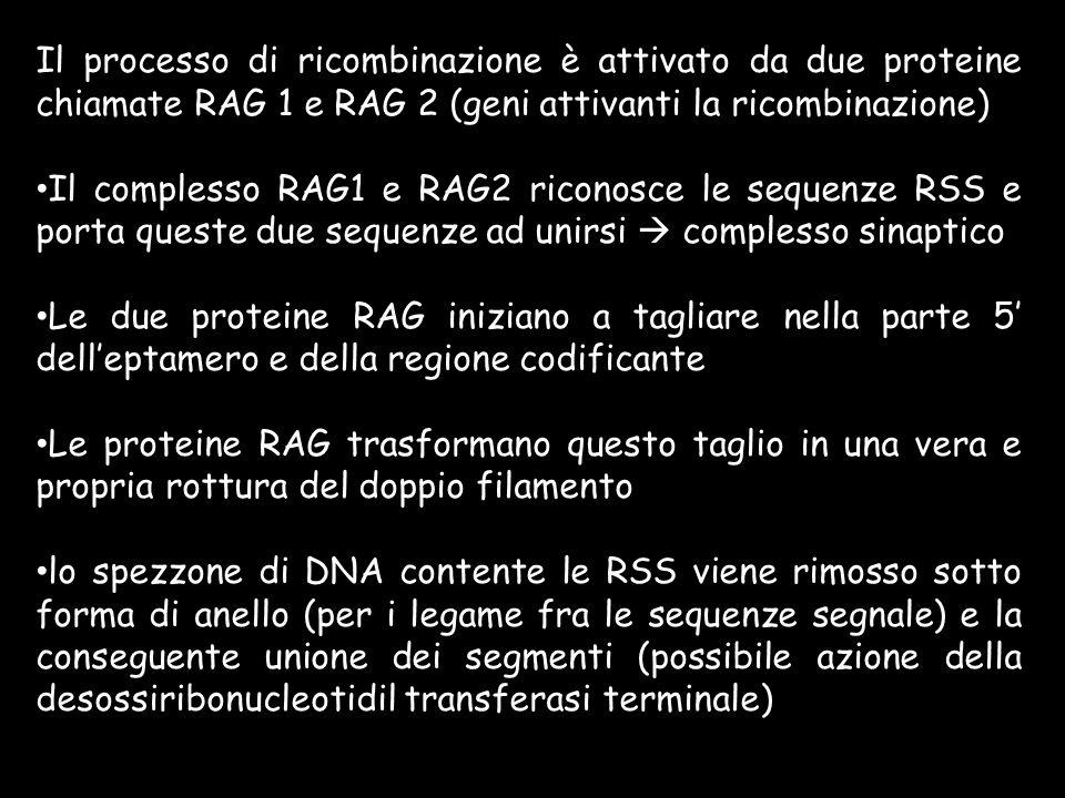 Il processo di ricombinazione è attivato da due proteine chiamate RAG 1 e RAG 2 (geni attivanti la ricombinazione) Il complesso RAG1 e RAG2 riconosce