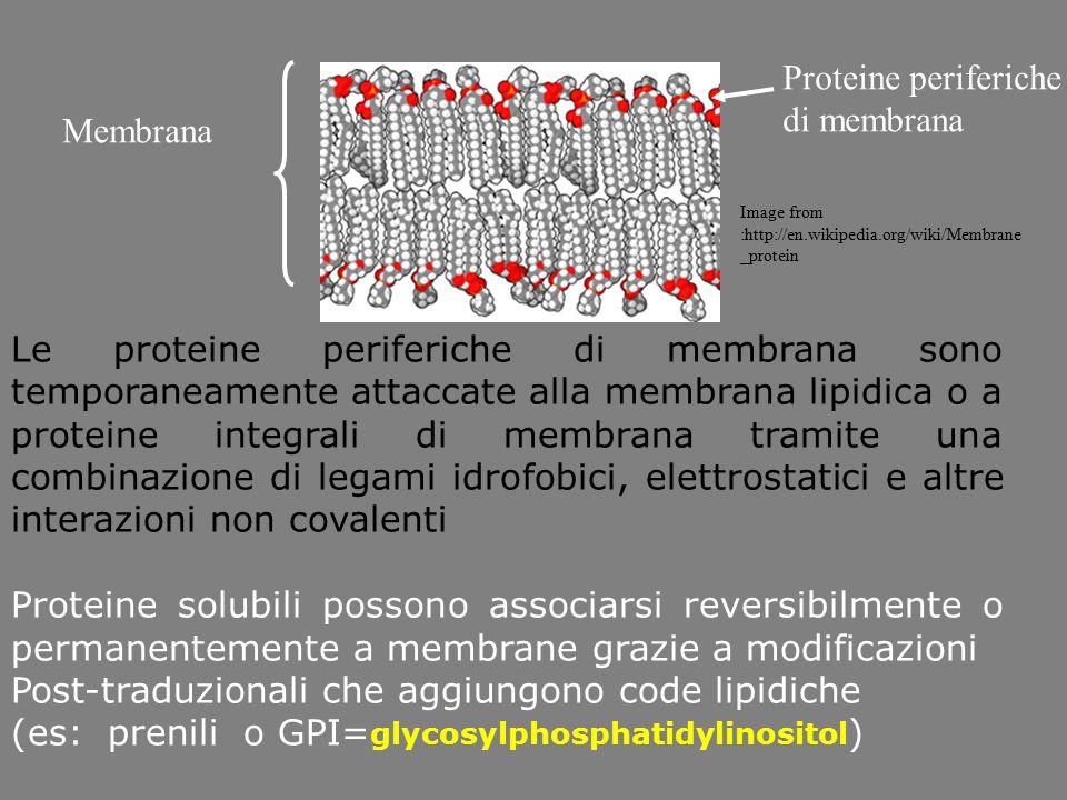 Le proteine periferiche di membrana sono temporaneamente attaccate alla membrana lipidica o a proteine integrali di membrana tramite una combinazione