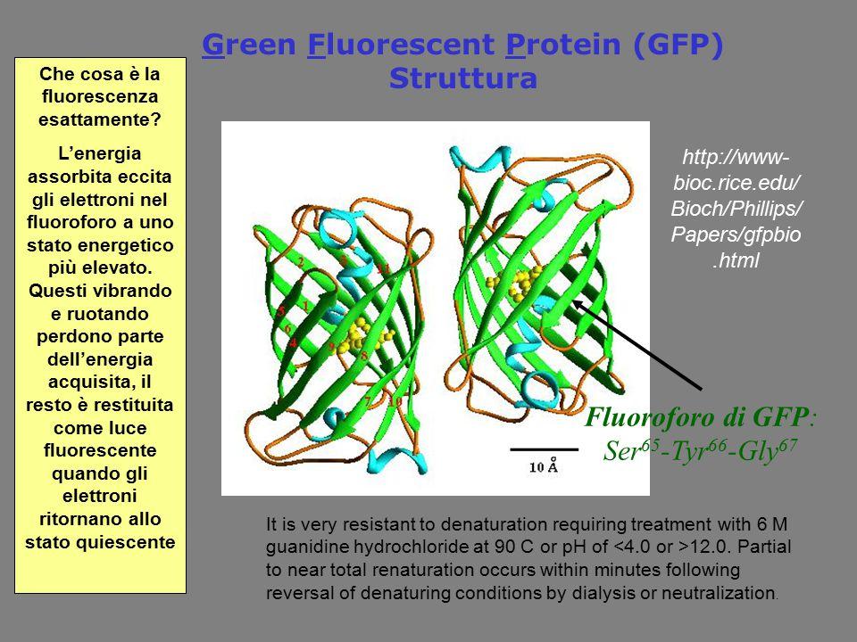 Green Fluorescent Protein (GFP) Struttura Fluoroforo di GFP: Ser 65 -Tyr 66 -Gly 67 Che cosa è la fluorescenza esattamente? L'energia assorbita eccita