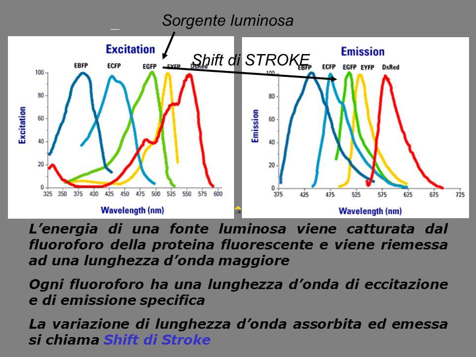 Sorgente luminosa Shift di STROKE L'energia di una fonte luminosa viene catturata dal fluoroforo della proteina fluorescente e viene riemessa ad una l