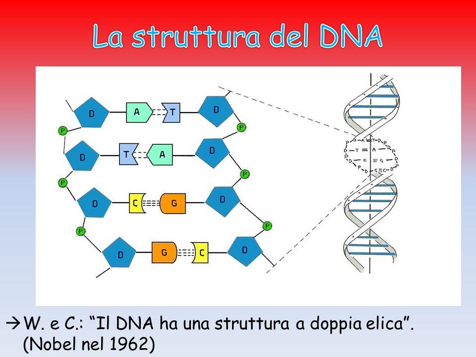  W. e C.: Il DNA ha una struttura a doppia elica . (Nobel nel 1962)