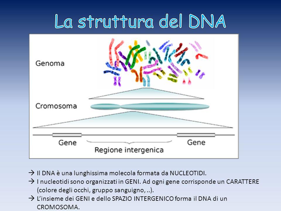  Il DNA è una lunghissima molecola formata da NUCLEOTIDI.
