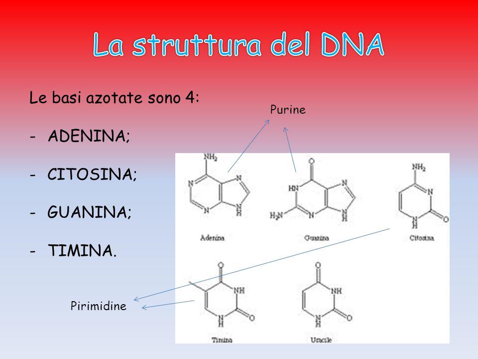 Le basi azotate sono 4: -ADENINA; -CITOSINA; -GUANINA; -TIMINA. Purine Pirimidine