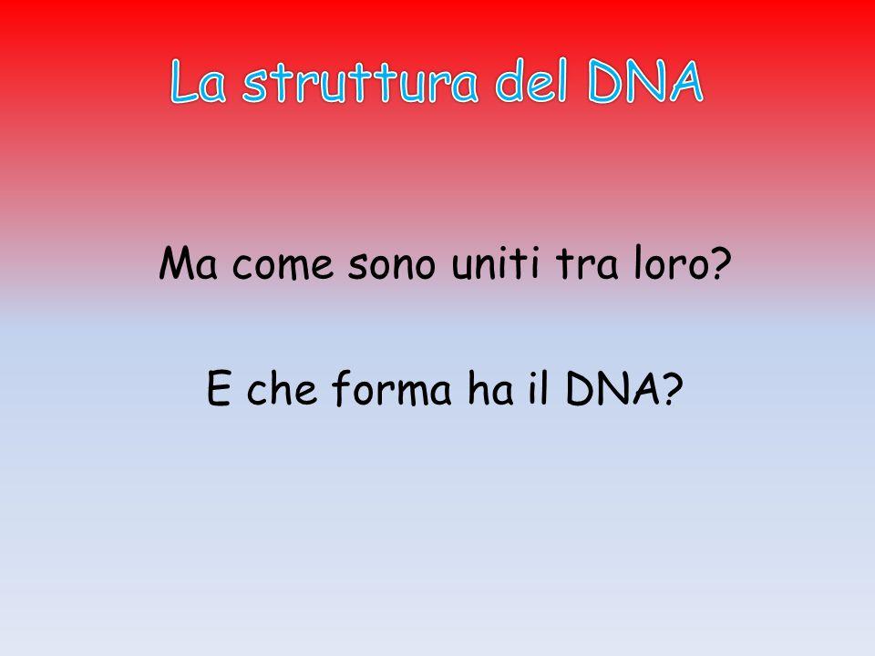 Ma come sono uniti tra loro? E che forma ha il DNA?