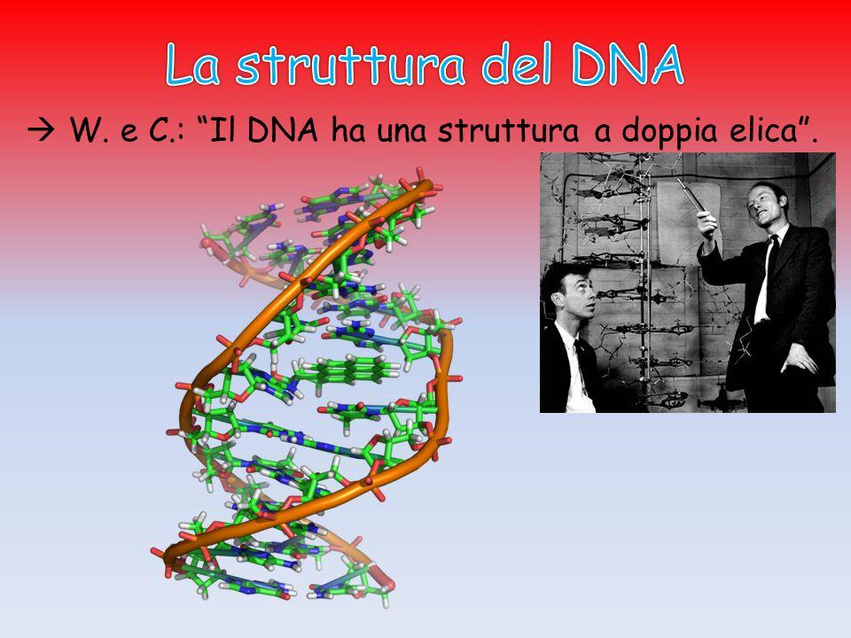 Ogni ELICA è una sequenza di NUCLEOTIDI.