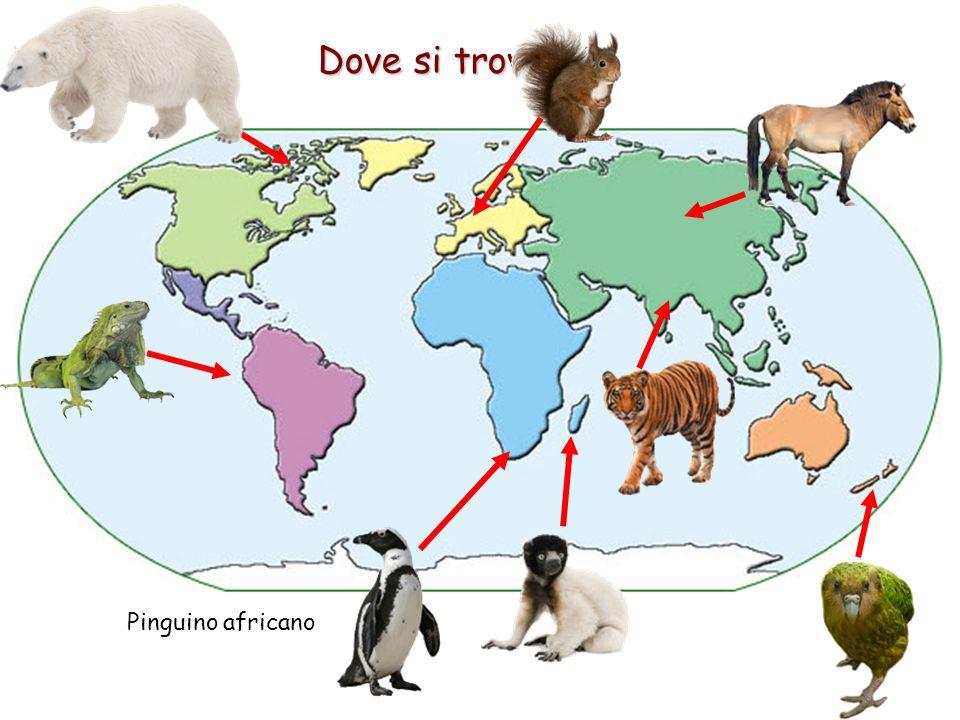 Dove si trovano? Pinguino africano