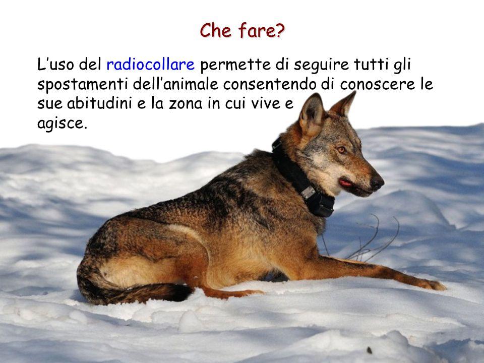 Che fare? L'uso del radiocollare permette di seguire tutti gli spostamenti dell'animale consentendo di conoscere le sue abitudini e la zona in cui viv