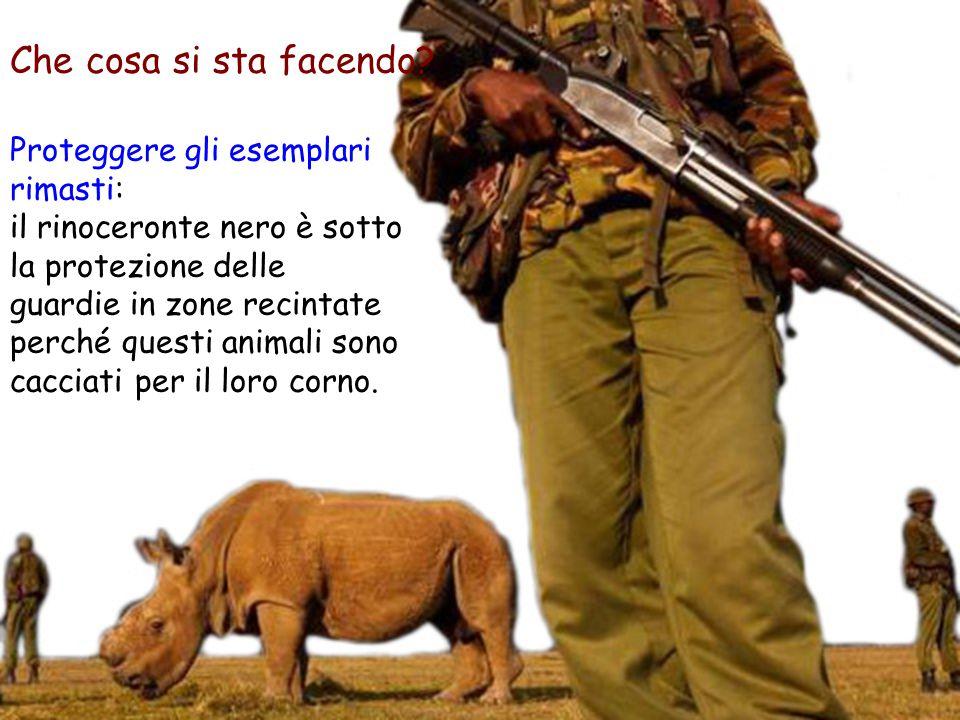 Proteggere gli esemplari rimasti: il rinoceronte nero è sotto la protezione delle guardie in zone recintate perché questi animali sono cacciati per il loro corno.