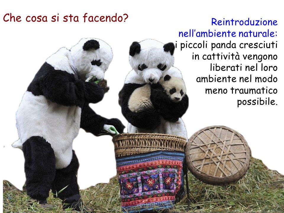 Reintroduzione nell'ambiente naturale: i piccoli panda cresciuti in cattività vengono liberati nel loro ambiente nel modo meno traumatico possibile.