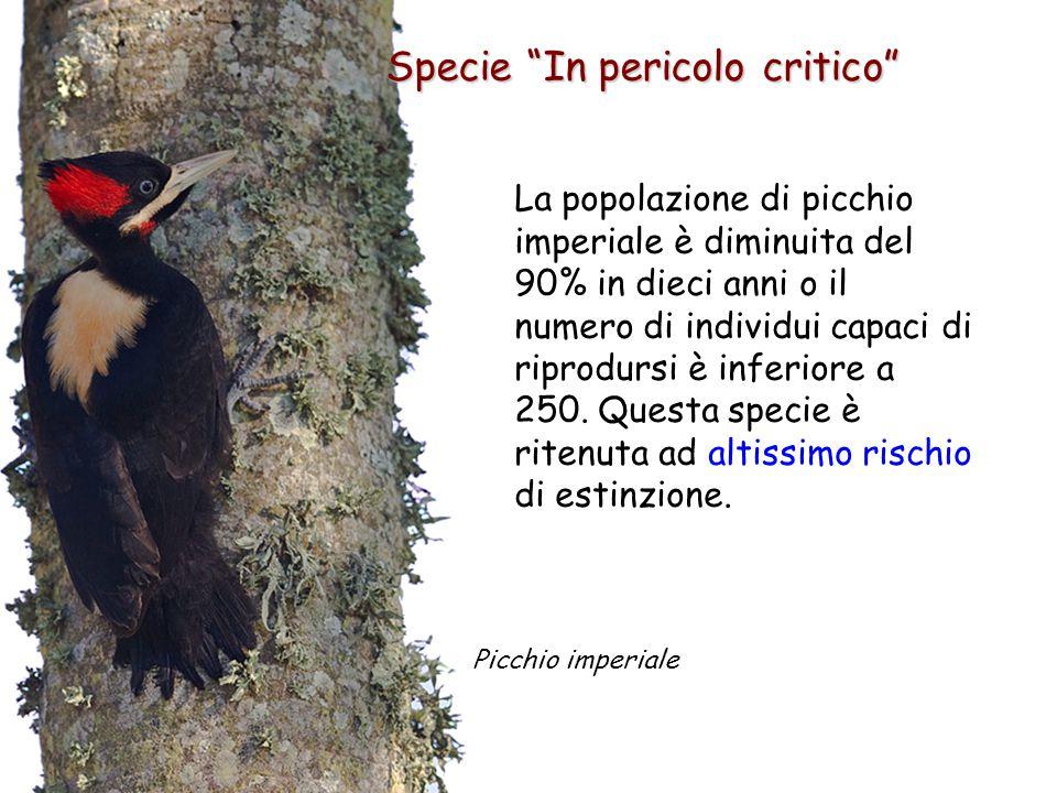 Specie In pericolo critico La popolazione di picchio imperiale è diminuita del 90% in dieci anni o il numero di individui capaci di riprodursi è inferiore a 250.