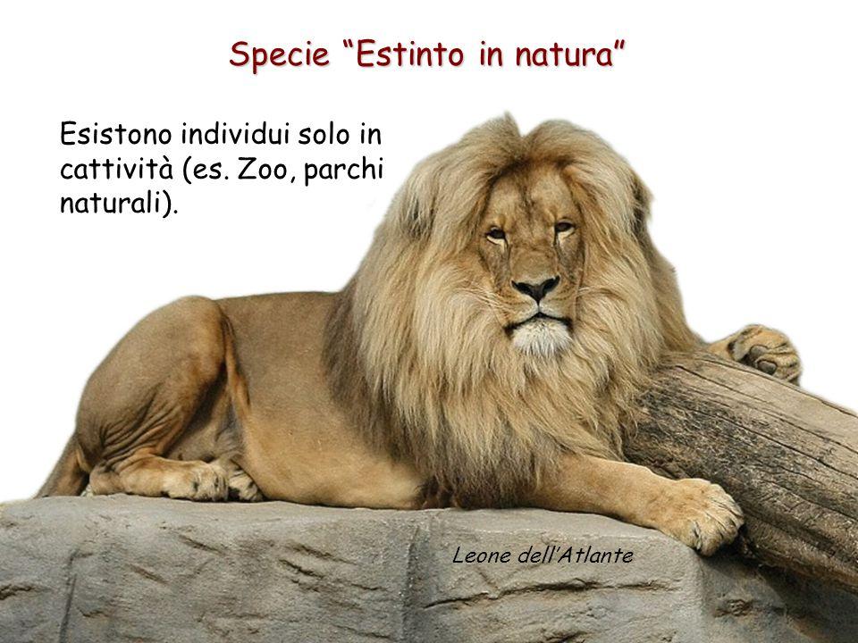 """Specie """"Estinto in natura"""" Esistono individui solo in cattività (es. Zoo, parchi naturali). Leone dell'Atlante"""