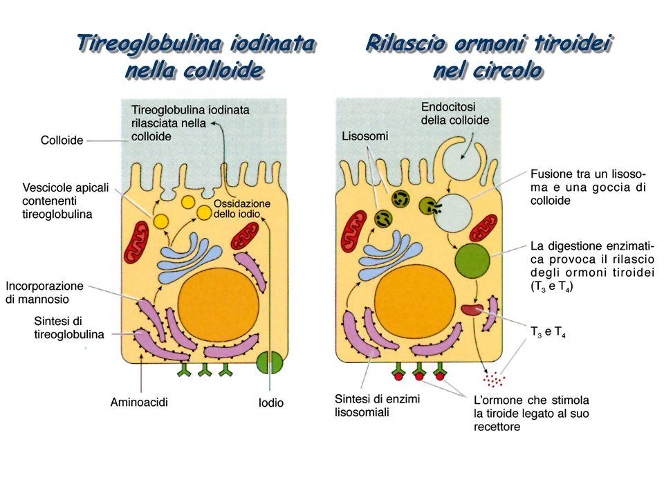 Tireoglobulina iodinata nella colloide Rilascio ormoni tiroidei nel circolo