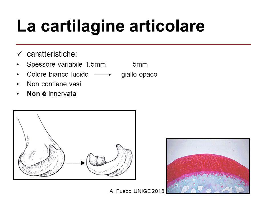 A. Fusco UNIGE 2013 La cartilagine articolare caratteristiche: Spessore variabile 1.5mm 5mm Colore bianco lucido giallo opaco Non contiene vasi Non è