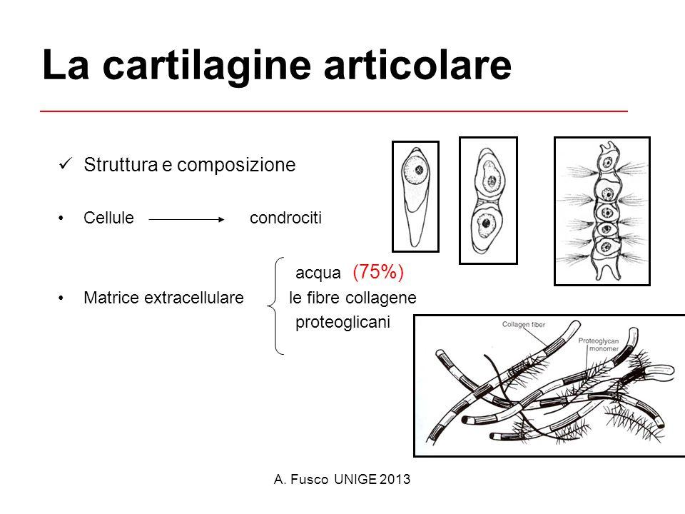 A. Fusco UNIGE 2013 La cartilagine articolare Struttura e composizione Cellule condrociti acqua (75%) Matrice extracellulare le fibre collagene proteo