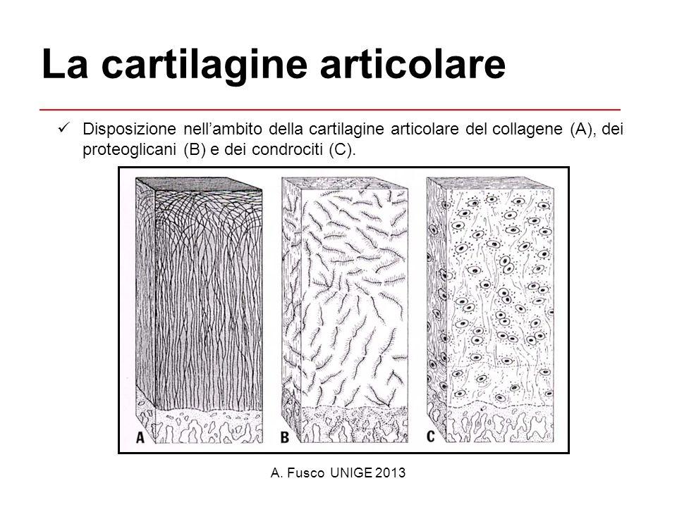 A. Fusco UNIGE 2013 La cartilagine articolare Disposizione nell'ambito della cartilagine articolare del collagene (A), dei proteoglicani (B) e dei con