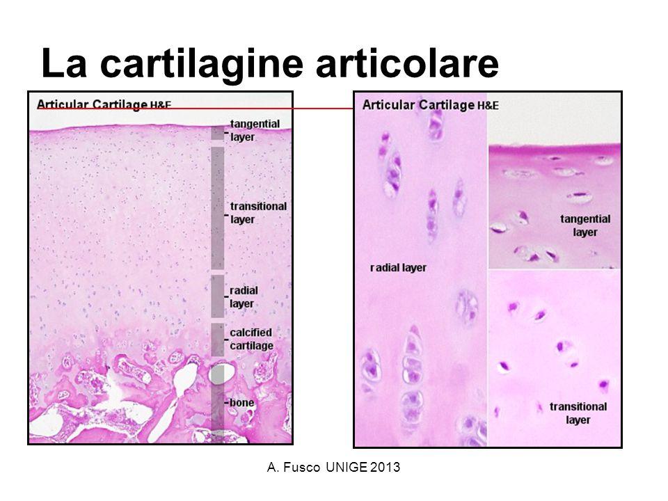 A. Fusco UNIGE 2013 La cartilagine articolare