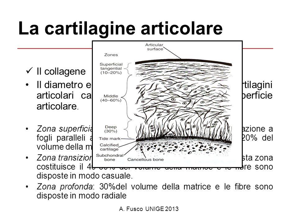 A. Fusco UNIGE 2013 La cartilagine articolare Il collagene Il diametro ed orientamento delle fibre nelle cartilagini articolari cambia con la distanza