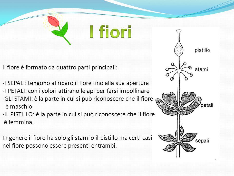 Il fiore è formato da quattro parti principali: -I SEPALI: tengono al riparo il fiore fino alla sua apertura -I PETALI: con i colori attirano le api per farsi impollinare -GLI STAMI: è la parte in cui si può riconoscere che il fiore è maschio -IL PISTILLO: è la parte in cui si può riconoscere che il fiore è femmina.