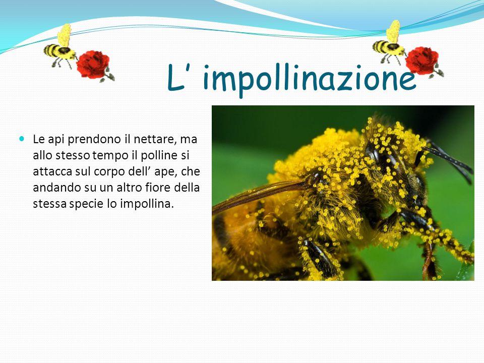 L' impollinazione Le api prendono il nettare, ma allo stesso tempo il polline si attacca sul corpo dell' ape, che andando su un altro fiore della stessa specie lo impollina.