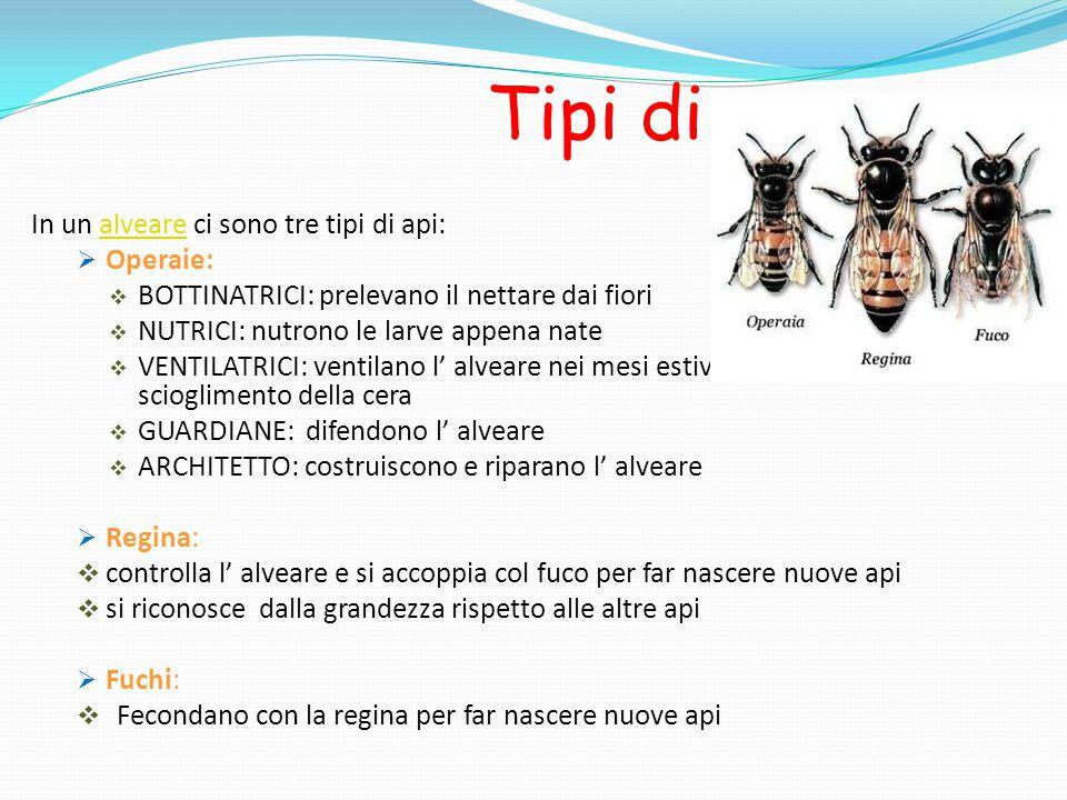 Tipi di ape In un alveare ci sono tre tipi di api:alveare  Operaie:  BOTTINATRICI: prelevano il nettare dai fiori  NUTRICI: nutrono le larve appena nate  VENTILATRICI: ventilano l' alveare nei mesi estivi per evitare lo scioglimento della cera  GUARDIANE: difendono l' alveare  ARCHITETTO: costruiscono e riparano l' alveare  Regina:  controlla l' alveare e si accoppia col fuco per far nascere nuove api  si riconosce dalla grandezza rispetto alle altre api  Fuchi:  Fecondano con la regina per far nascere nuove api