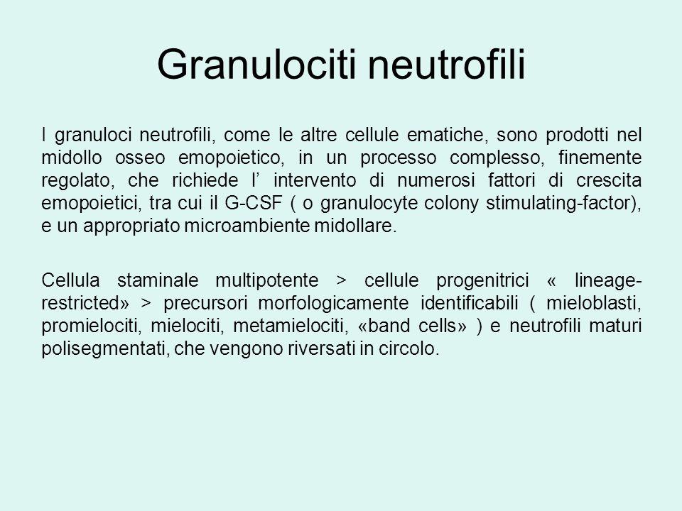 Granulociti neutrofili I granuloci neutrofili, come le altre cellule ematiche, sono prodotti nel midollo osseo emopoietico, in un processo complesso,
