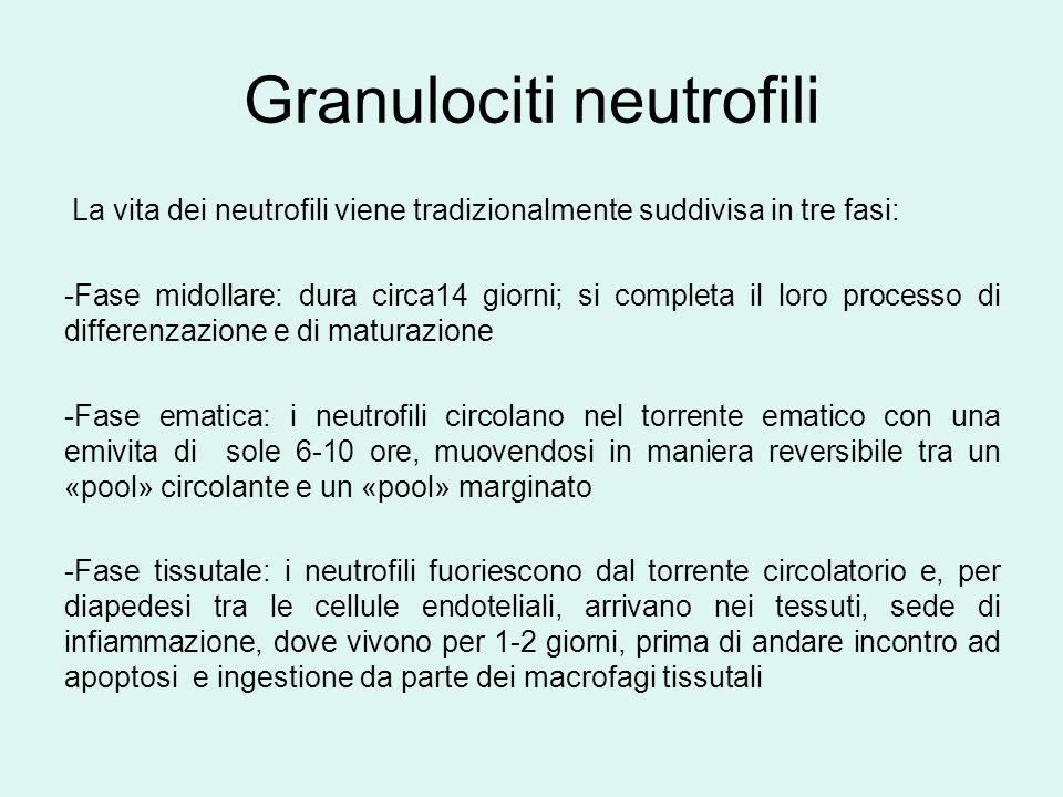 Granuloci neutrofili Funzione: La funzione primaria dei neutrofili maturi è quella di muovere rapidamente nei tessuti per distruggere i microbi invasori ed eliminare i detriti del processo di infiammazione Elemento distintivo della neutropenia è l' aumentata suscettibilità alle infezioni batteriche e micotiche; la neutropenia di per sè non diminuisce le difese del paziente alle infezioni virali o parassitarie