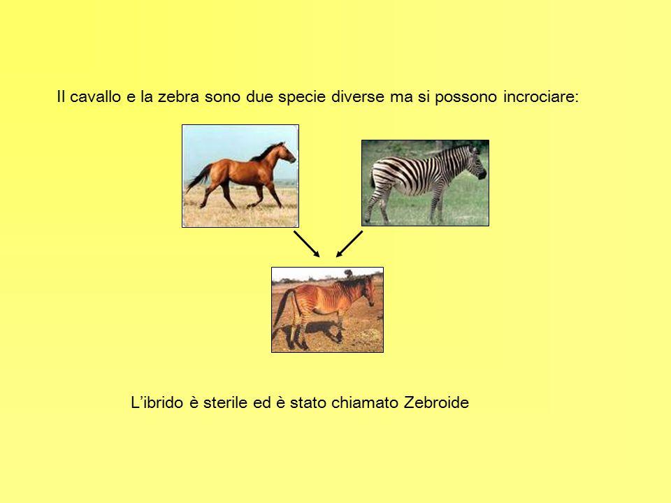 Il cavallo e la zebra sono due specie diverse ma si possono incrociare: L'ibrido è sterile ed è stato chiamato Zebroide