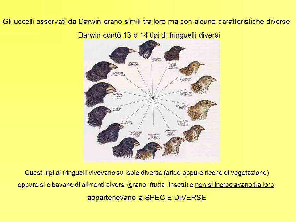 Gli uccelli osservati da Darwin erano simili tra loro ma con alcune caratteristiche diverse Darwin contò 13 o 14 tipi di fringuelli diversi Questi tip