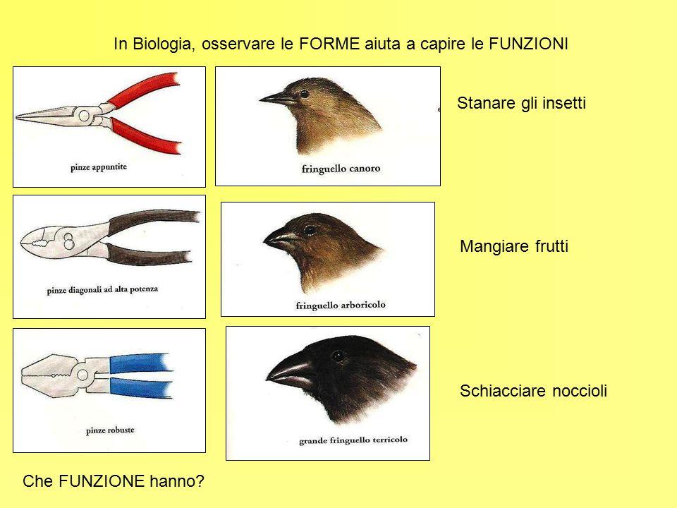 In Biologia, osservare le FORME aiuta a capire le FUNZIONI Che FUNZIONE hanno? Stanare gli insetti Mangiare frutti Schiacciare noccioli