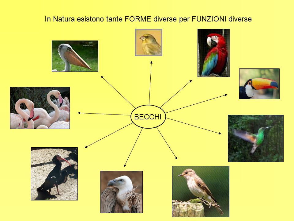 In Natura esistono tante FORME diverse per FUNZIONI diverse BECCHI