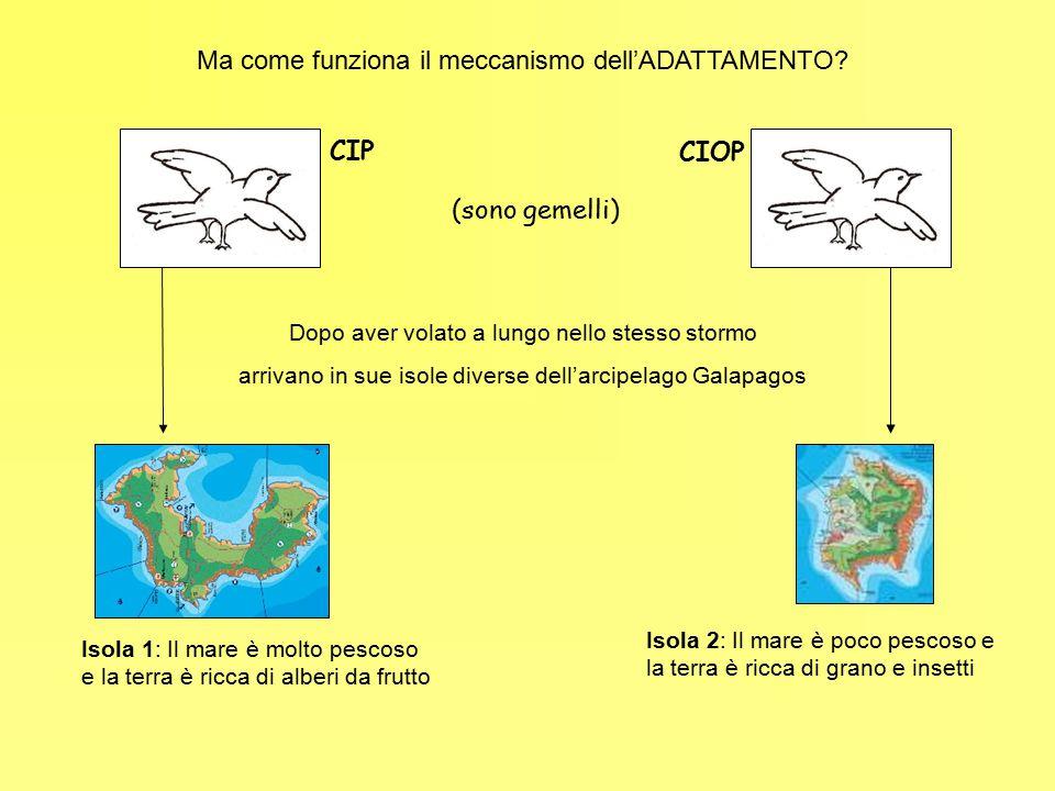 Ma come funziona il meccanismo dell'ADATTAMENTO? CIP CIOP (sono gemelli) Dopo aver volato a lungo nello stesso stormo arrivano in sue isole diverse de