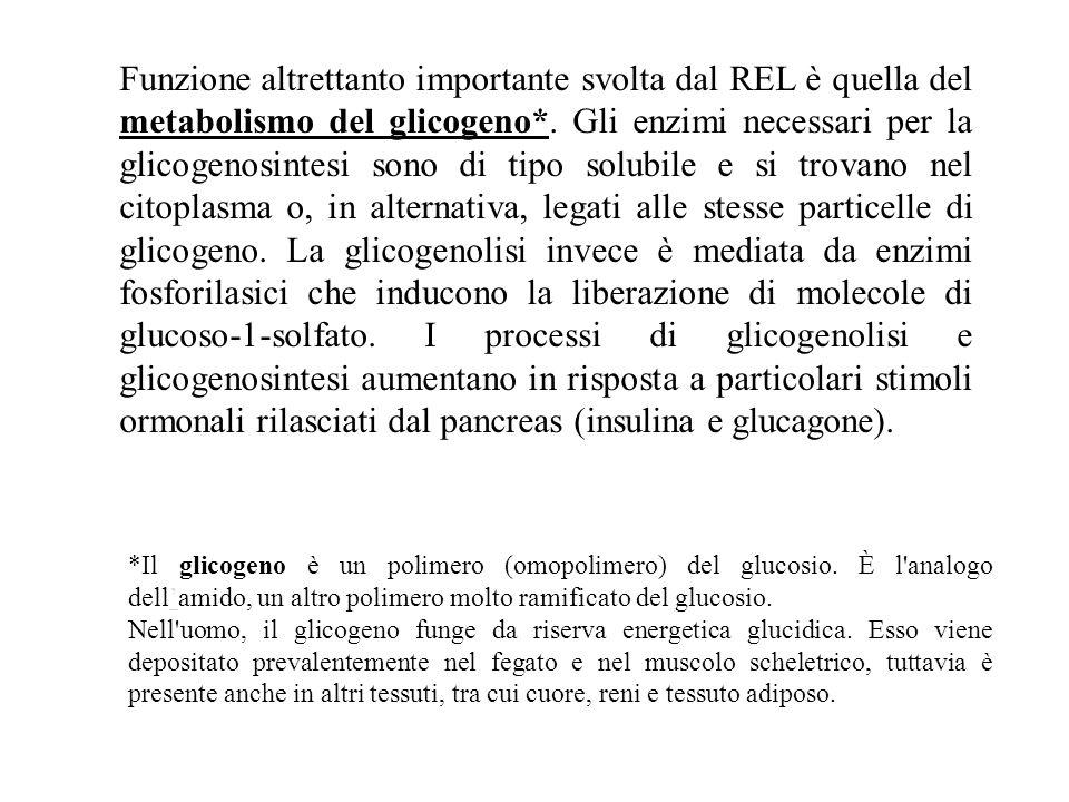 citoplasma GLICOGENOLISI RECETTORE PER L'INSULINA Controllo della glicemia