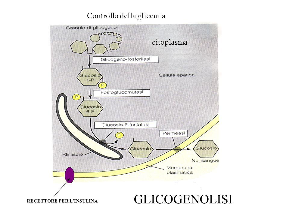 TRASPORTO DI MATERIALE ATTRAVERSO LA MEMBRANA PLASMATICA I meccanismi di trasporto attraverso la membrana sono l'esocitosi e l'endocitosi i microtubuli sono responsabili del movimento delle vescicole endo- e esocitotiche la secrezione di proteine (esocitosi) è polarizzata, cioè avviene solamente in una porzione definita della cellula (verso il lume dell'organo)