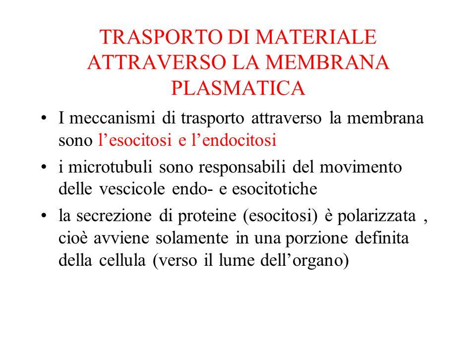 TRASPORTO DI MATERIALE ATTRAVERSO LA MEMBRANA PLASMATICA I meccanismi di trasporto attraverso la membrana sono l'esocitosi e l'endocitosi i microtubul