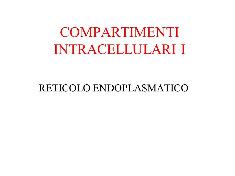 RETICOLO ENDOPLASMATICO (RE) Il reticolo endoplasmatico è un sistema continuo di vescicole, sacchetti appiattiti e tubuli formato da membrana che si estende per tutta la cellula.