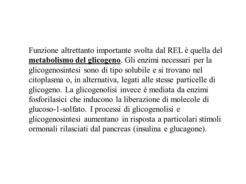 Funzione altrettanto importante svolta dal REL è quella del metabolismo del glicogeno. Gli enzimi necessari per la glicogenosintesi sono di tipo solub
