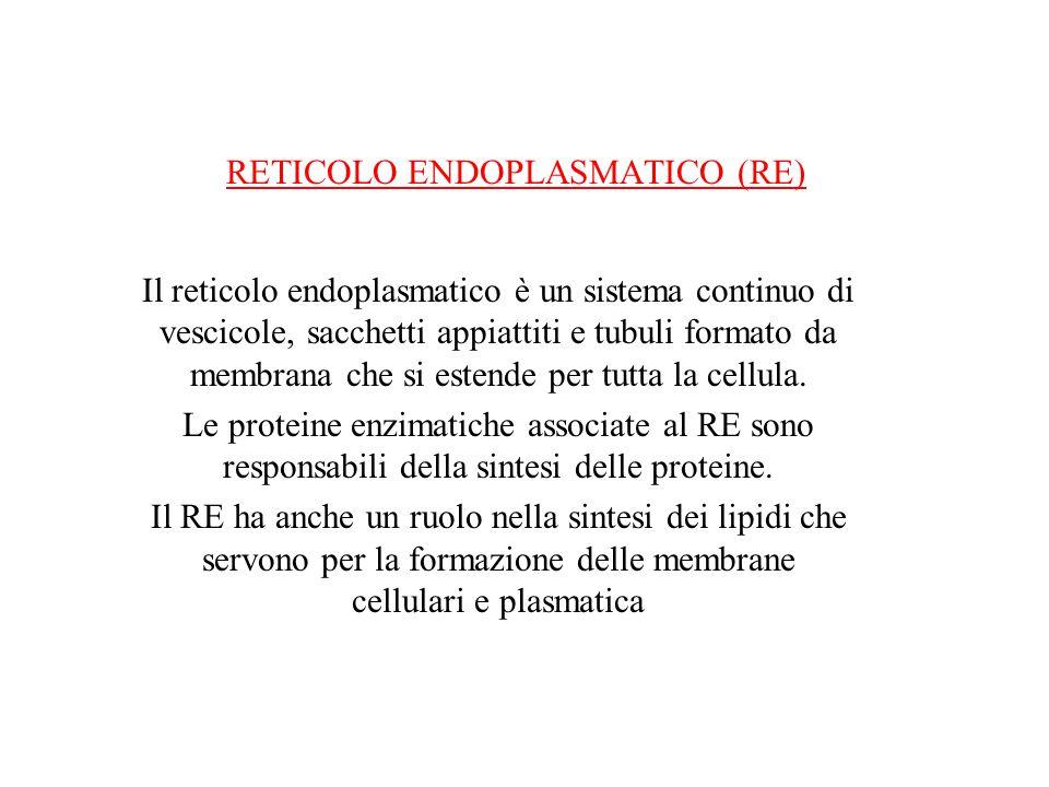 RETICOLO ENDOPLASMATICO (RE) Il reticolo endoplasmatico è un sistema continuo di vescicole, sacchetti appiattiti e tubuli formato da membrana che si e