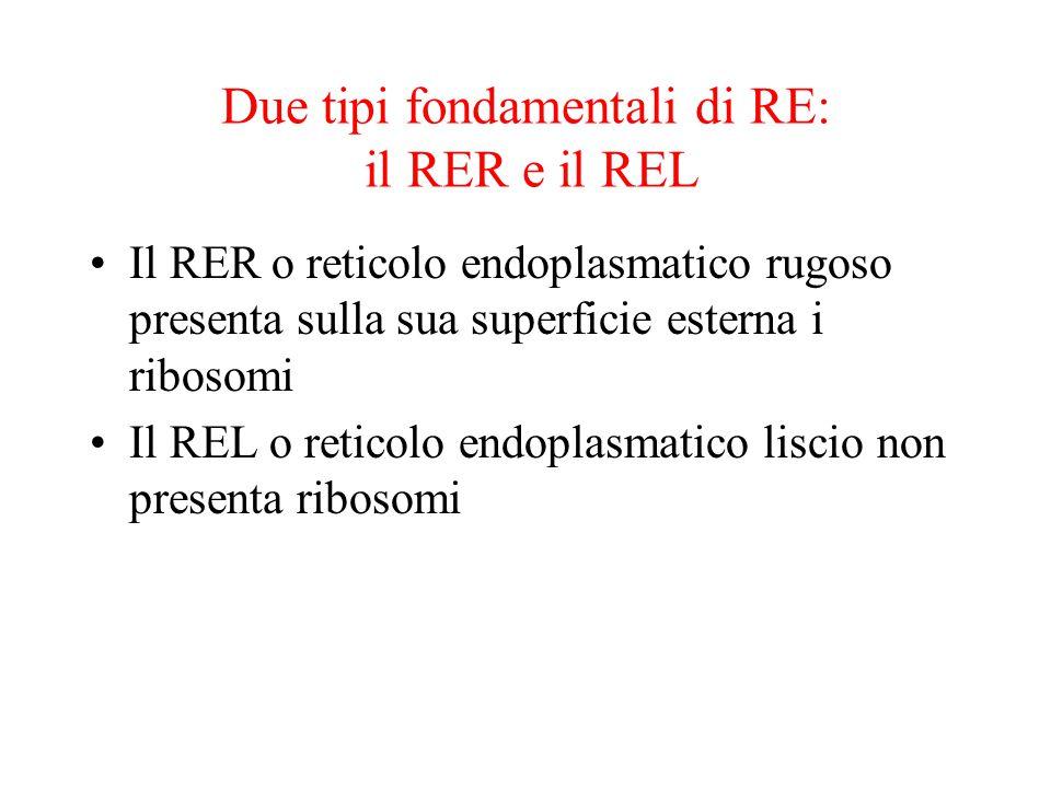 Due tipi fondamentali di RE: il RER e il REL Il RER o reticolo endoplasmatico rugoso presenta sulla sua superficie esterna i ribosomi Il REL o reticol