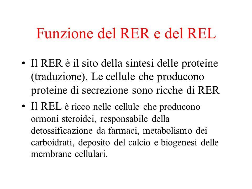 Funzione del RER e del REL Il RER è il sito della sintesi delle proteine (traduzione). Le cellule che producono proteine di secrezione sono ricche di