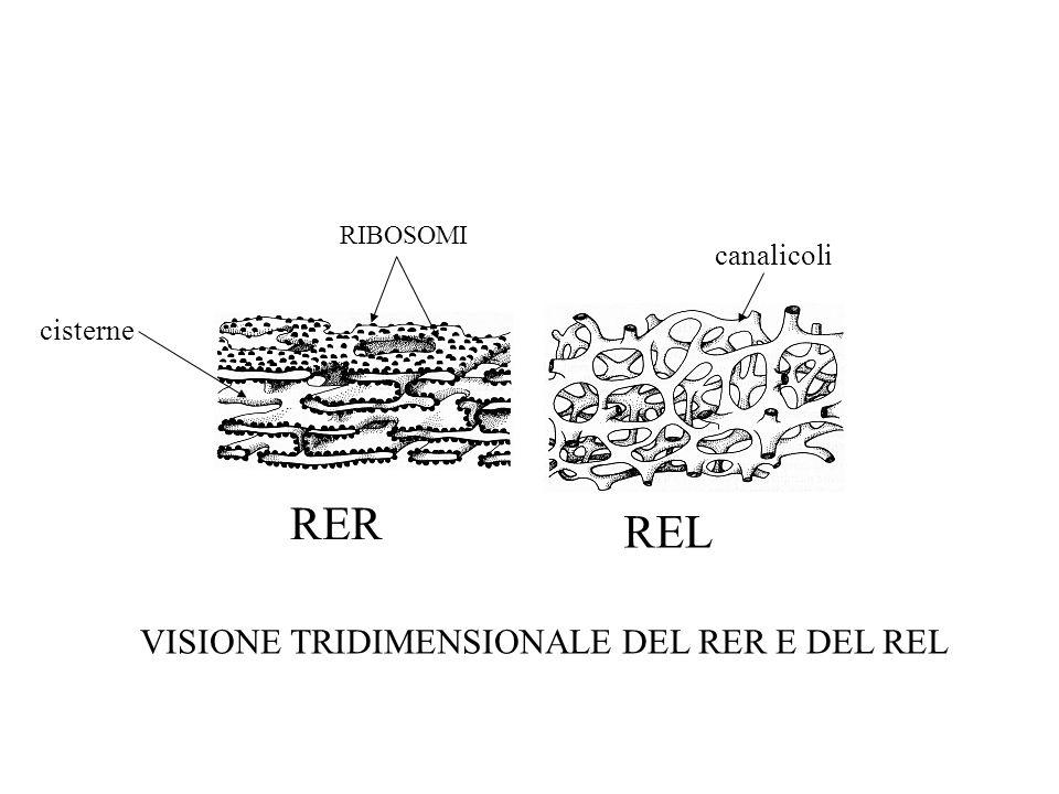RER REL VISIONE TRIDIMENSIONALE DEL RER E DEL REL RIBOSOMI cisterne canalicoli