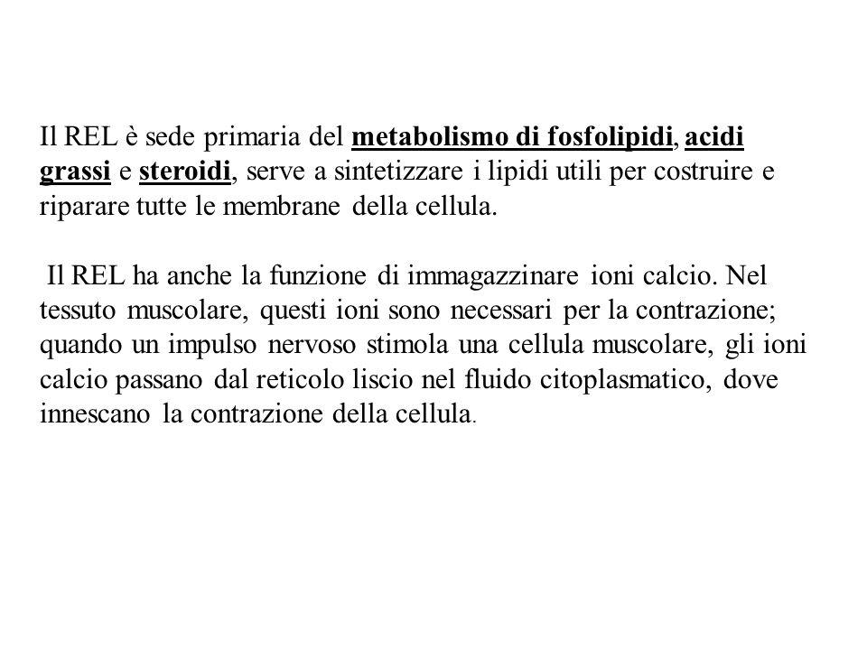 Funzione altrettanto importante svolta dal REL è quella del metabolismo del glicogeno.