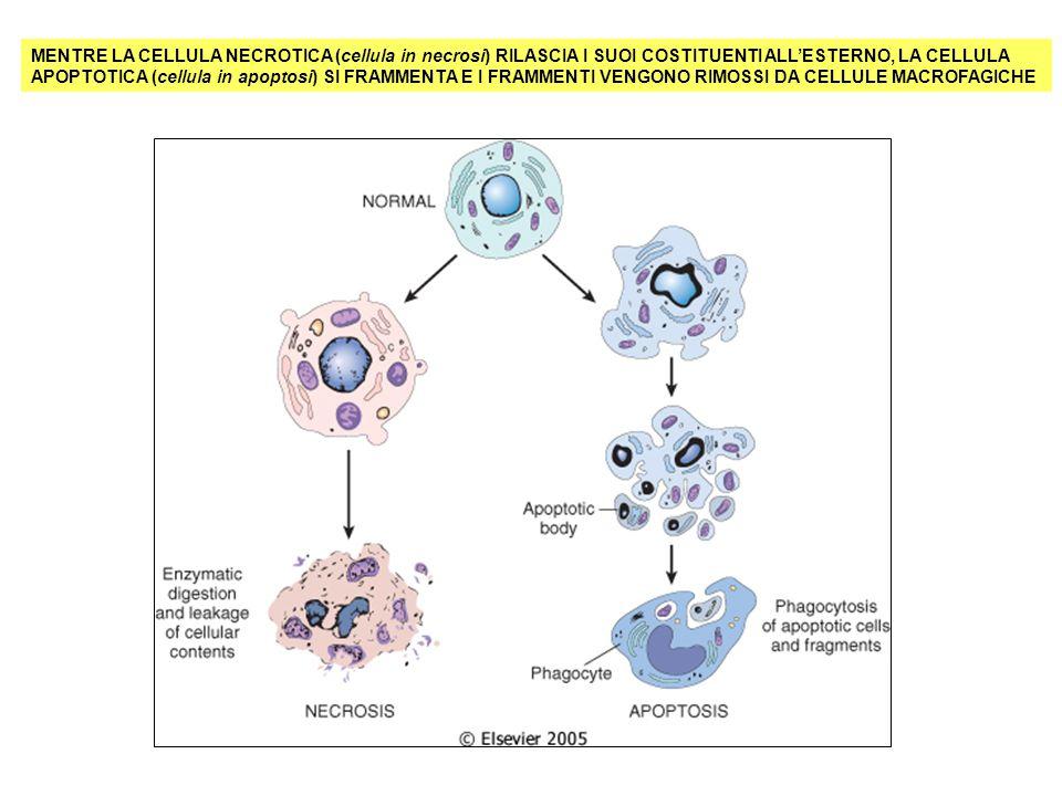 MENTRE LA CELLULA NECROTICA (cellula in necrosi) RILASCIA I SUOI COSTITUENTI ALL'ESTERNO, LA CELLULA APOPTOTICA (cellula in apoptosi) SI FRAMMENTA E I FRAMMENTI VENGONO RIMOSSI DA CELLULE MACROFAGICHE