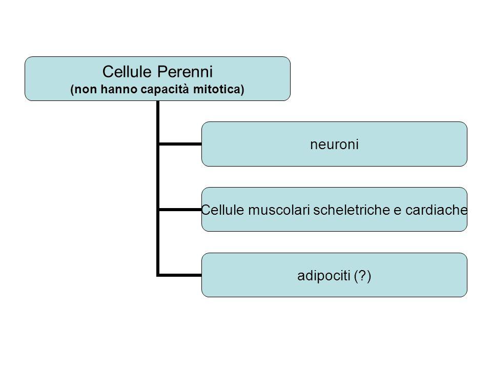 Cellule Perenni (non hanno capacità mitotica) neuroni Cellule muscolari scheletriche e cardiache adipociti ( )