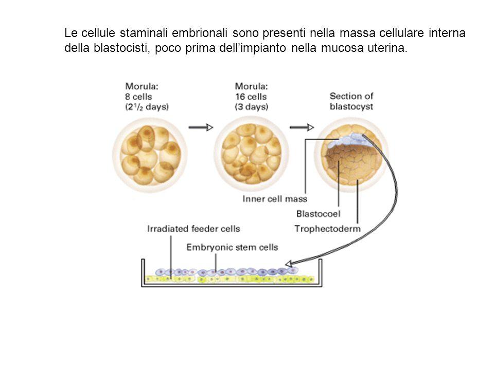 Le cellule staminali embrionali sono presenti nella massa cellulare interna della blastocisti, poco prima dell'impianto nella mucosa uterina.