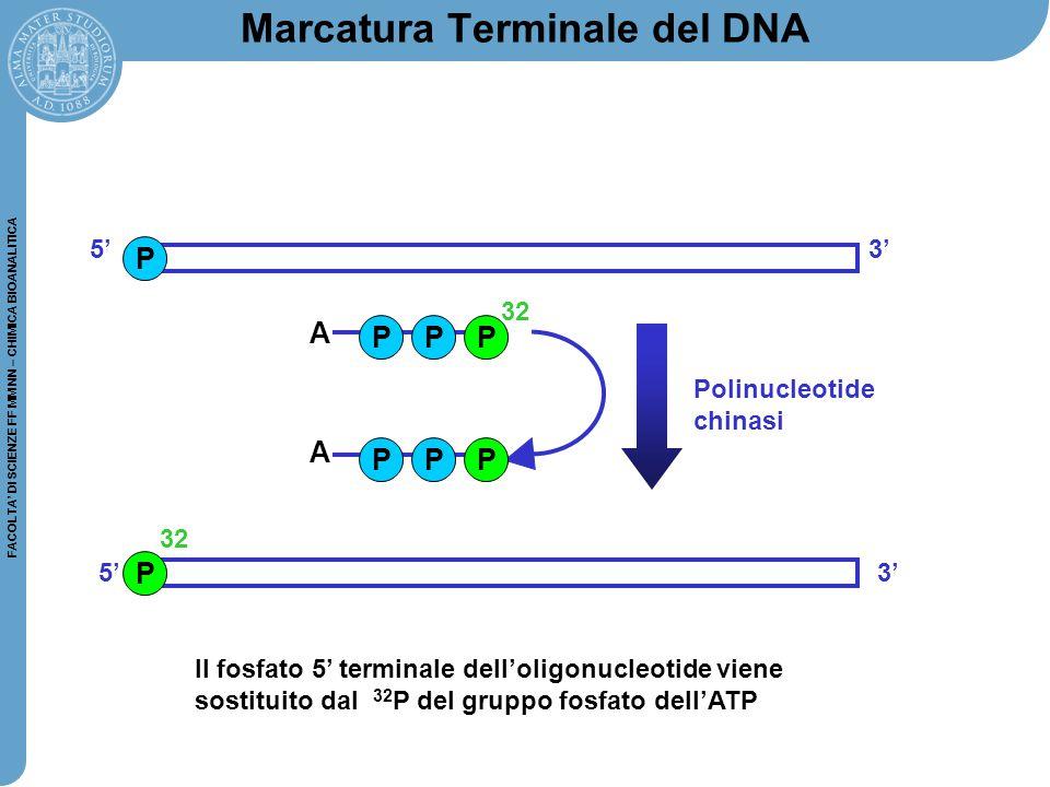 FACOLTA' DI SCIENZE FF MM NN – CHIMICA BIOANALITICA Marcatura Terminale del DNA P PPP Polinucleotide chinasi 32 5'3' PPP P 32 5'3' A A Il fosfato 5' t