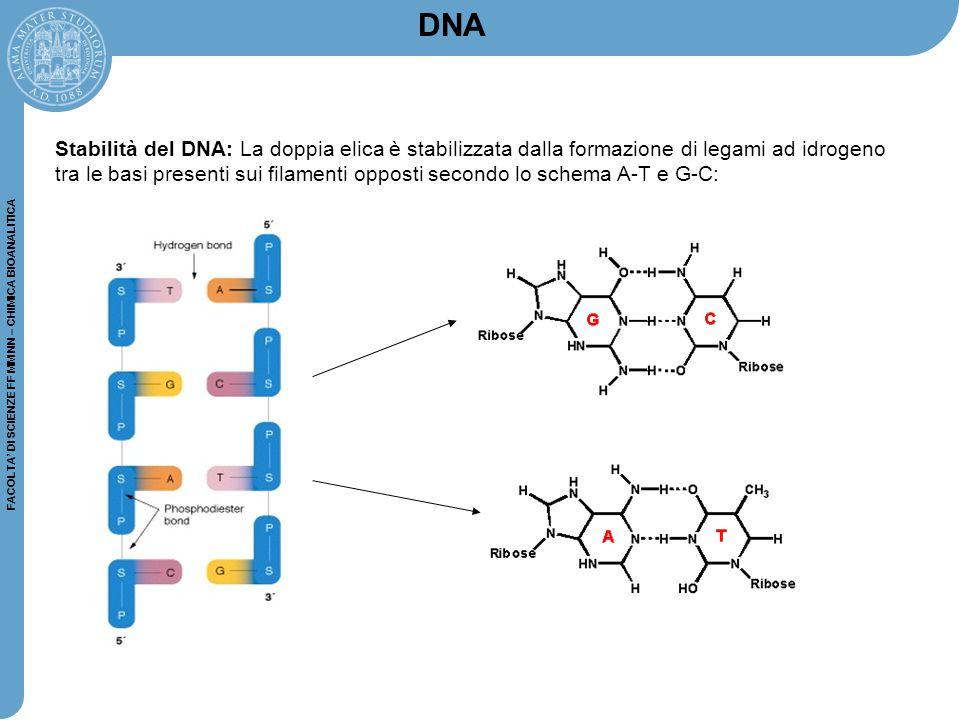 FACOLTA' DI SCIENZE FF MM NN – CHIMICA BIOANALITICA Stabilità del DNA: La doppia elica è stabilizzata dalla formazione di legami ad idrogeno tra le ba