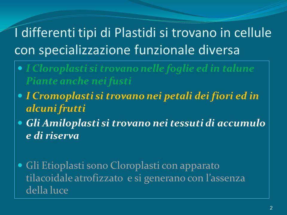 I differenti tipi di Plastidi si trovano in cellule con specializzazione funzionale diversa I Cloroplasti si trovano nelle foglie ed in talune Piante anche nei fusti I Cromoplasti si trovano nei petali dei fiori ed in alcuni frutti Gli Amiloplasti si trovano nei tessuti di accumulo e di riserva Gli Etioplasti sono Cloroplasti con apparato tilacoidale atrofizzato e si generano con l'assenza della luce 2